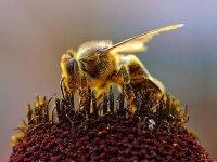 В мире гибнут пчёлы.